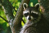 Wildlife nuisance remove animals in chimneys, window wells, attics, overhangs, under decks